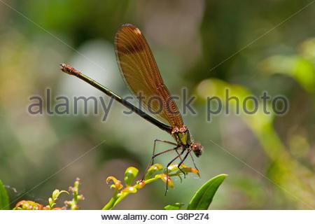 Bộ sưu tập Côn trùng - Page 3 Copper-demoiselle-calopteryx-haemorrhoidalis-female-g8p274