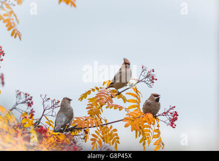 Three Waxwings sitting in a Rowan tree with berries on it and leaves are in autumn color yellow, Gällivare, Swedish - Stock Photo