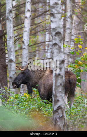 Young moose bull (Alces alces) in birch forest in autumn, Scandinavia - Stock Photo