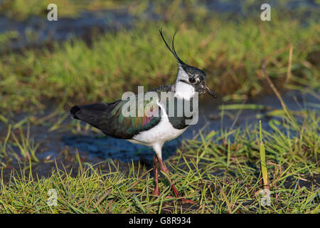 Northern Lapwing (Vanellus vanellus) foraging in wetland - Stock Photo