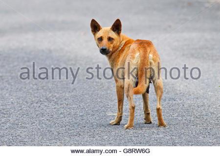 Brown Street Dog in Thailand - Stock Photo
