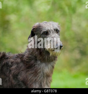 Deerhound - Stock Photo