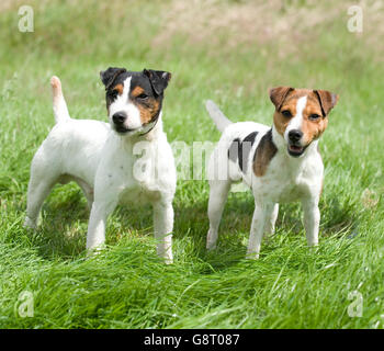 two jack russell terriers standing together - Stock Photo