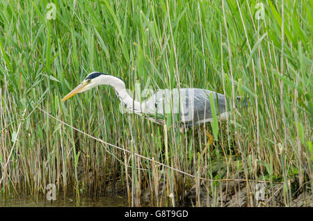 Grey Heron [Ardea cinerea] fishing from the bank on the River Bure, The Norfolk Broads, UK. June. - Stock Photo