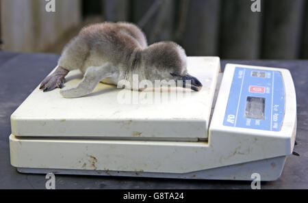 Penguin chicks at Chester zoo - Stock Photo