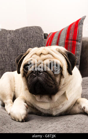 A pug dog laying on a grey sofa - Stock Photo