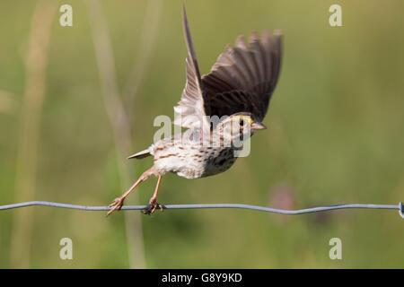 Savannah sparrow (Passerculus sandwichensis) singing in spring. - Stock Photo