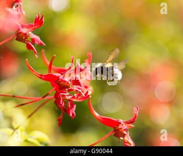 Stirlingshire, Scotland, UK - 1 July 2016: UK weather - a bumblebee collecting nectar and pollen from a flame flower - Stock Photo