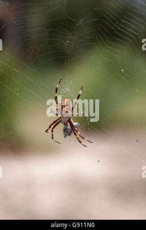 Orb-weaving spider and prey - Stock Photo