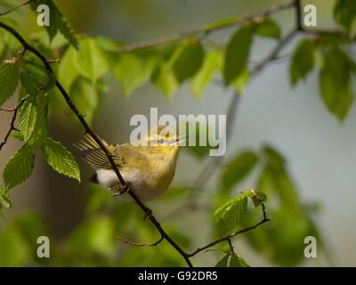Waldlaubsaenger (Phylloscopus sibilatrix) - Stock Photo