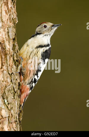Middle-spotted Woodpecker / (Dendrocopos medius, Picoides medius) - Stock Photo