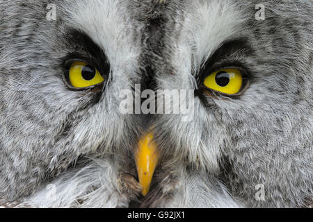 Great Grey Owl / (Strix nebulosa) - Stock Photo