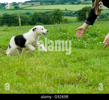 black and white collie puppy running to owner - Stock Photo