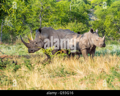 Group of white rhinoceros (Ceratotherium simum) in the scrublands, Ongaya Wild Reserve, Outja, Namibia - Stock Photo