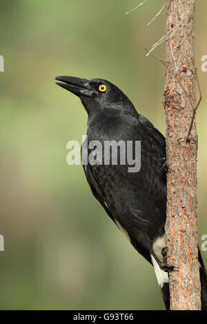A Pied Currawong, Strepera graculina, perched on a thin tree trunk singing early in the morning - Stock Photo