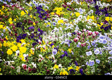 Mixed pansies flowers in the garden. Beauty in nature. Seasonal natural scene. Flower bed. Gardening theme. - Stock Photo