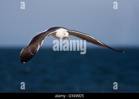 Flying Lesser Black-backed Gull, Heligoland, Germany, (Larus fuscus) - Stock Photo