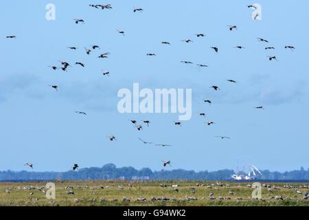 Common Cranes flying over bodden, Mecklenburg-Hither Pomerania, Mecklenburg-Western Pomerania, Germany, (Grus grus) - Stock Photo