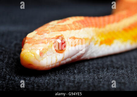 Red Rat Snake, amelanistic / (Pantherophis guttatus, Coluber guttatus, Elaphe guttata) - Stock Photo