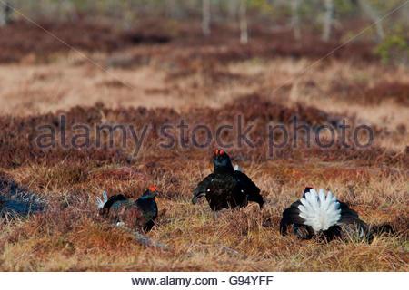 Black grouse, males, Sweden / (Lyrurus tetrix) - Stock Photo