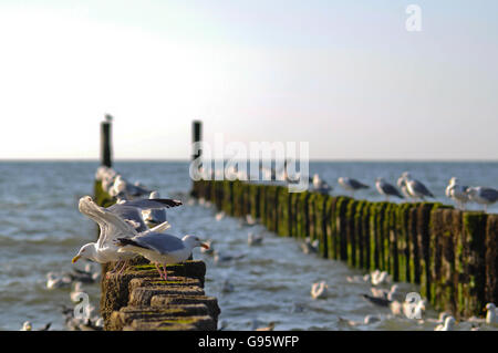 Seagulls feeding from the piers that are cleared after evening tide in Zeeland region of Netherlands - Stock Photo
