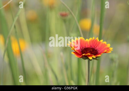 Vibrant Red and Yellow Flower in a Field of Wildflowers and Long, WIld, Green Grass - A Shallow Depth of Field Photograph - Stock Photo