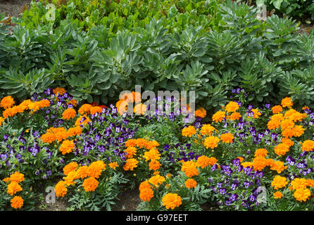 Marigolds and violets planted in a vegetable garden border. UK Stock ...