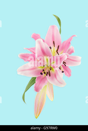 Montage from photos of pink oriental lilies, on pale blue background with light shadows. - Stock Photo