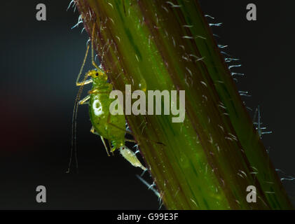 Common Nettle Aphid Microlophium carnosum reproducing - Stock Photo