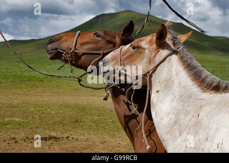 Couple horse in love, Mongolia.  ( Yılkı Horse ) - Stock Photo