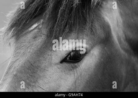 Black and white photo of wild horses out in the open - Stock Photo