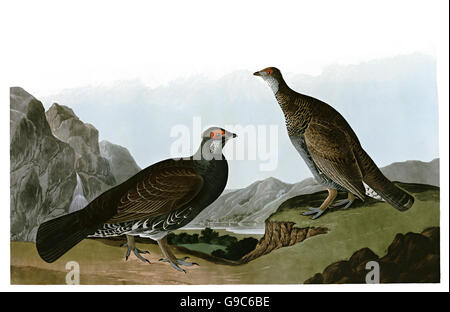 Blue Grouse, Dendragapus obscurus, birds, 1827 - 1838 - Stock Photo