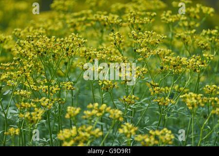 Ruta graveolens common rue herb-of-grace blooming - Stock Photo