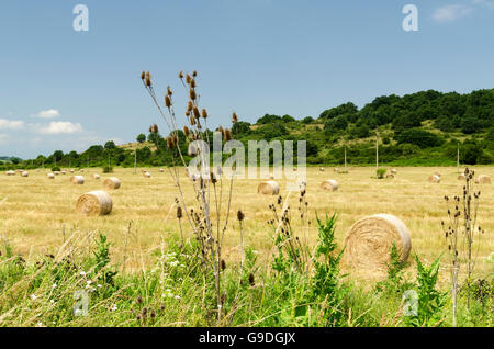 Straw bales in a field during the summer harvest and thistle - Stock Photo