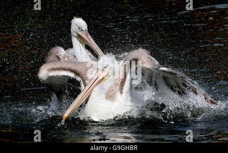 Eurasian Dalmatian pelican ( Pelecanus crispus) vigorous flapping action in a lake - Stock Photo
