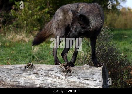 Black wolf balancing on a log - Stock Photo