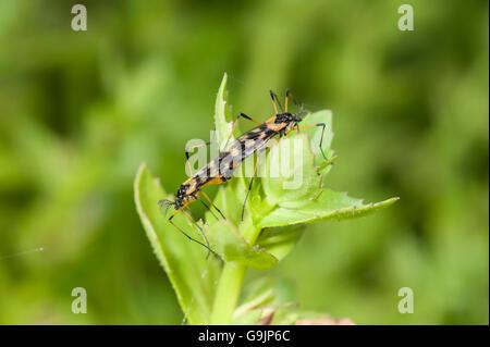 Mating orange and black crane flies, Gynoplistia sp. - Stock Photo