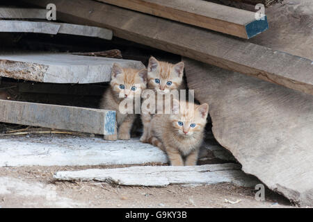 Ginger kittens - Stock Photo