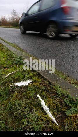 Avian bird flu at turkey farm - Stock Photo