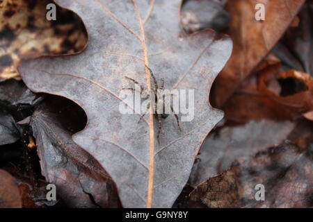 A female grass spider on a leaf - Stock Photo
