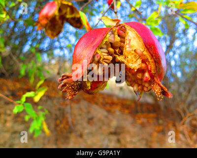 OverRipe pomegranate fruit on tree in Alora Countryside Andalusia - Stock Photo