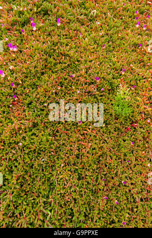 Ground totally covered with a texture of small red and green succulent plants (carpobrotus spp) with some pink flowers Stock Photo