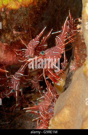 Durban Hinge-beak Shrimp, Bali, Indonesia / (Rhynchocinetes durbanensis) - Stock Photo