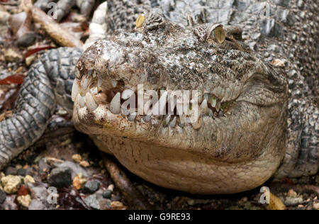 Estuarine Crodocile / (Crocodylus porosus) / Saltwater Crocodile - Stock Photo
