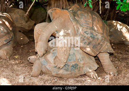Aldabra giant tortoise, mating, Mauritius, Africa, Indian Ocean /  (Aldabrachelys gigantea) - Stock Photo