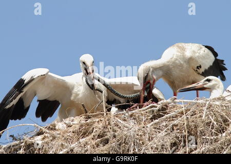 Ciconia ciconia - white stork feeding chicks at nest with a grass snake - Stock Photo