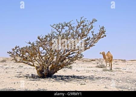 Frankincense Tree, Oman, Arabian Peninsula, Asia / (Boswellia carterii) - Stock Photo
