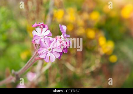 Red Campion, wild flower in Devon - Stock Photo