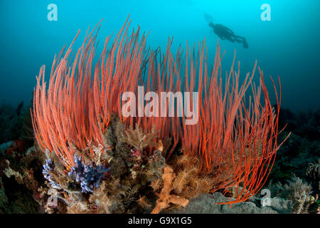 Red Whip corals and scuba diver, Molukkes, Indonesia, Asia, Pacific / (Ellisella ceratophyta) - Stock Photo