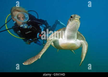 diver and hawksbill sea turtle, Canary Islands, Spain, Europe, Atlantic / (Eretmochelys imbricata) - Stock Photo